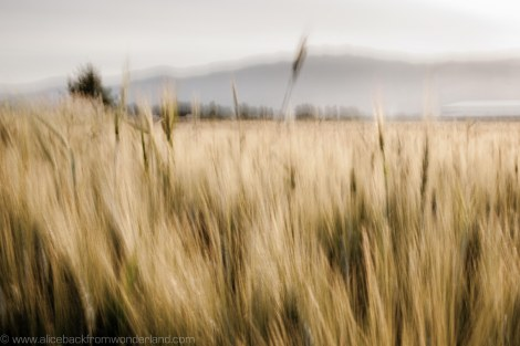 fields of gold 2