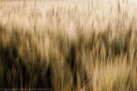 fields of gold 3